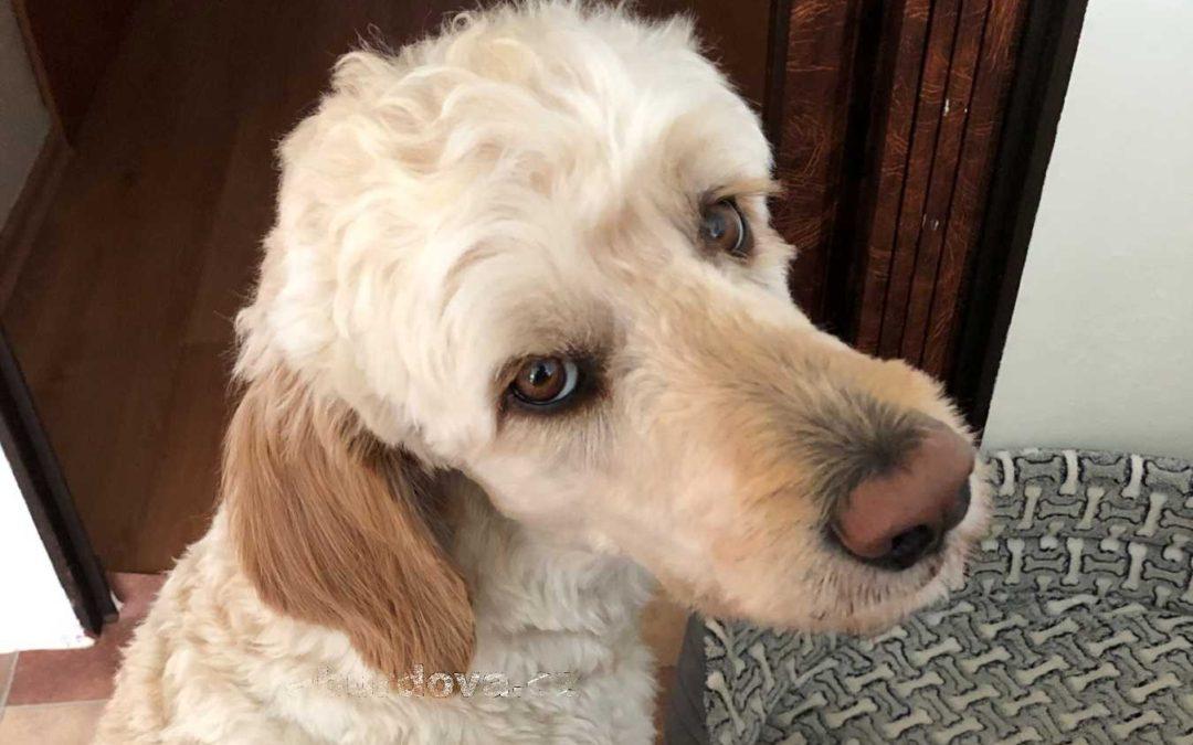 Goldendoodle: Kde v ČR sehnat štěně?